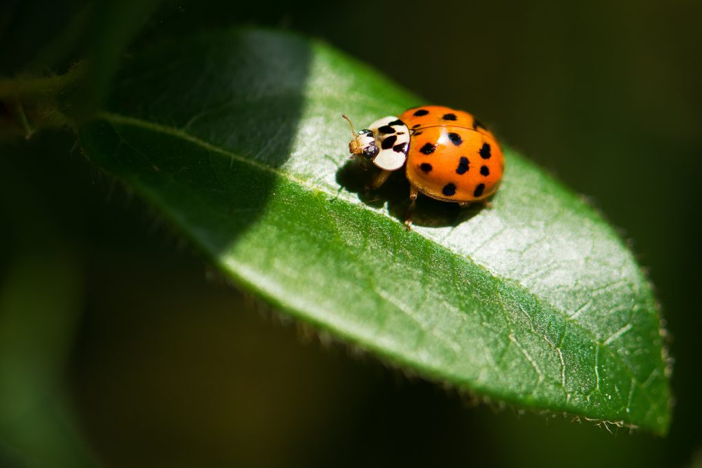 lady bug on leaf